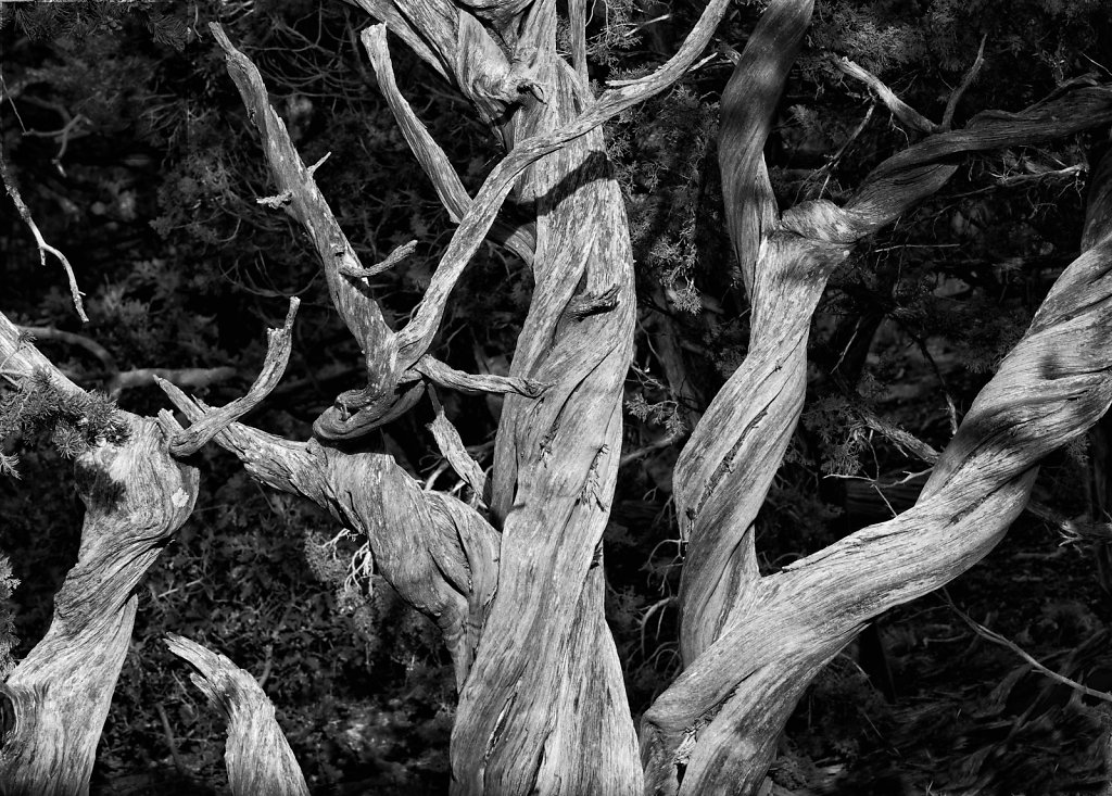 Gnarly Tree 3