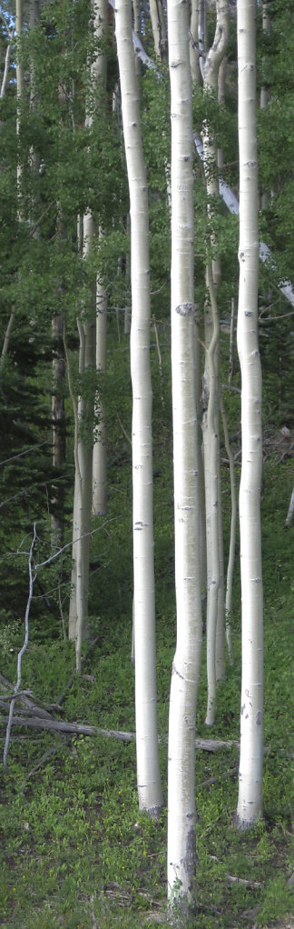 Aspens 1 cropped