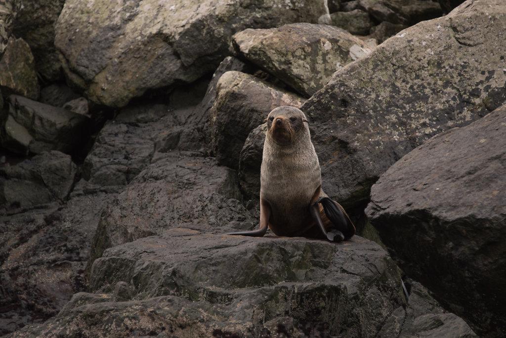 Hooker's Sea Lion?, Juan-Fernandez-fur-seal?