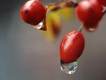 Berries in Rain