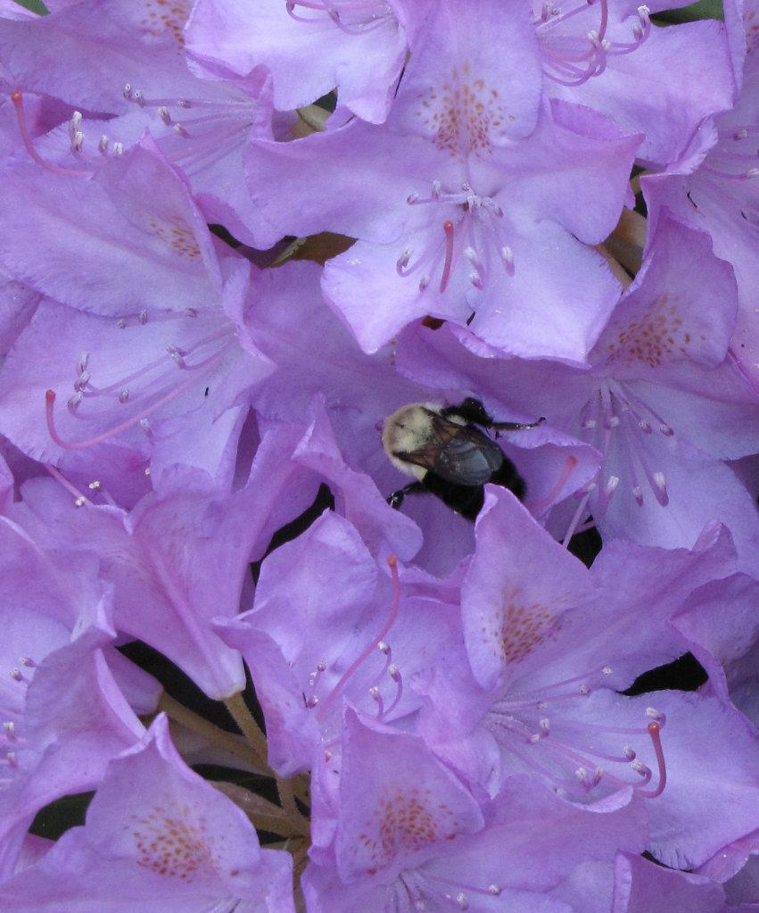 Rhodo-Bee