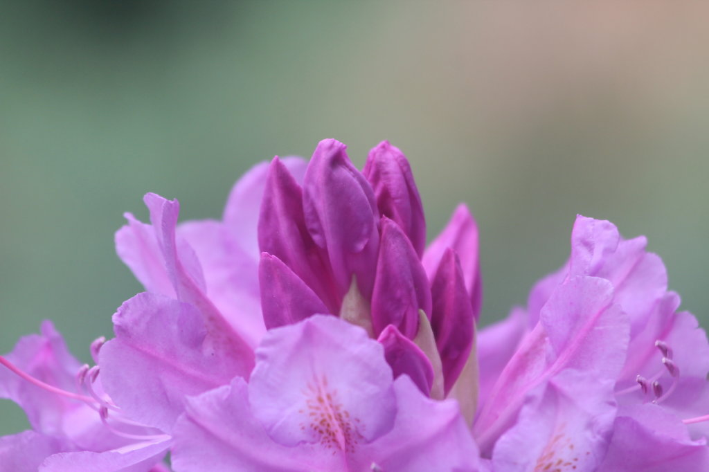 Rhododendron, Close