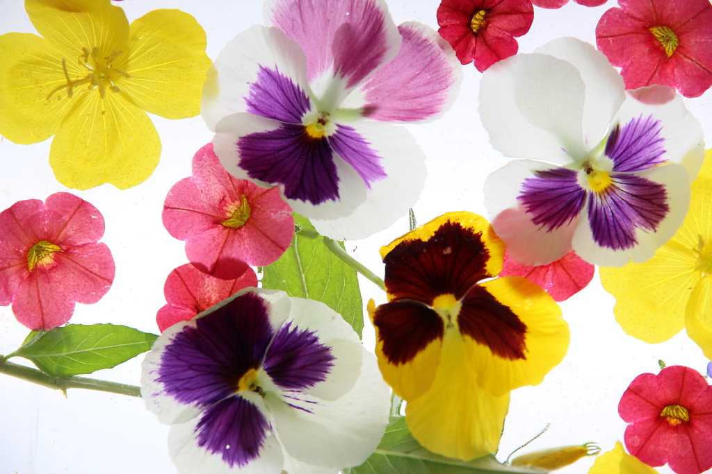 Translucent Flowers in Color
