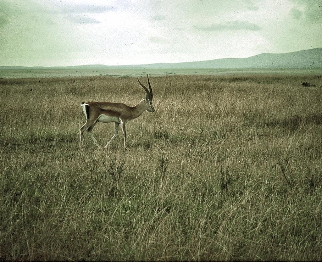 Thnomsen Gazelle, Kenya