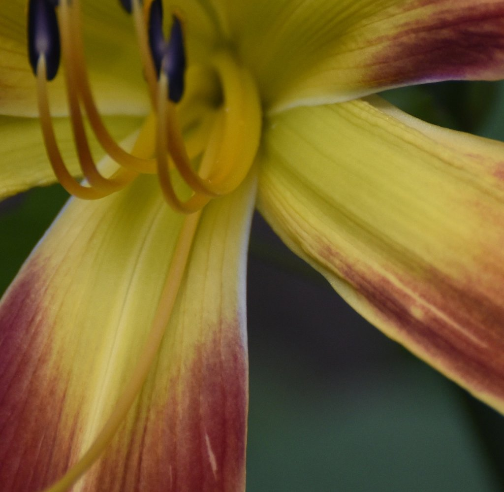 Day Lily, Up Close and Personal