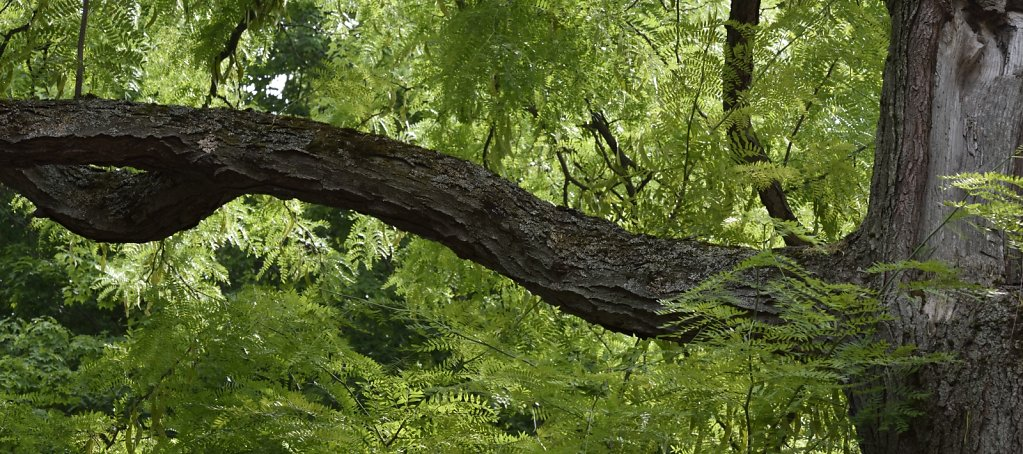 Black Locust Tree branch