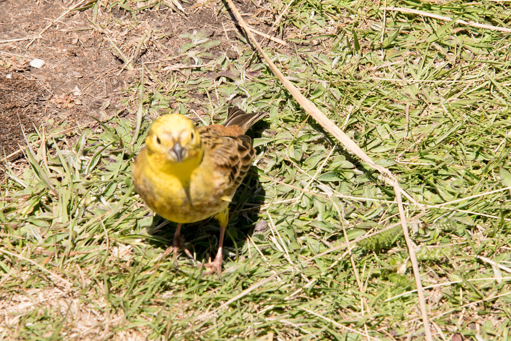 A Yellowhammer (I think)