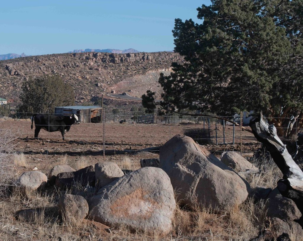 Bull, looking at shade...and fence