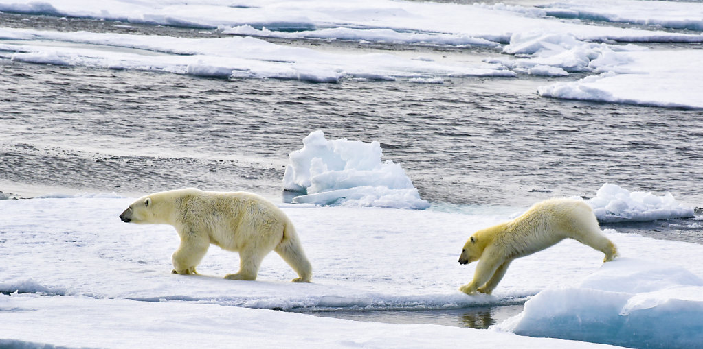 Jumping Polar Bears 1/1600s f/10 300mm. All photos copyrighted 2018