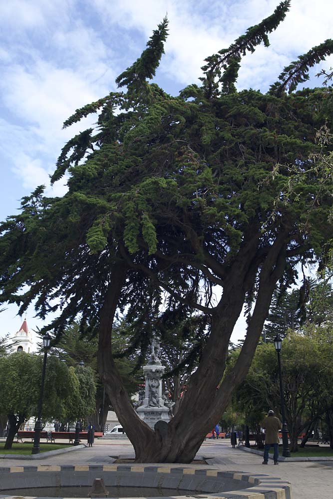 Tree and  statue in Punta Arenas