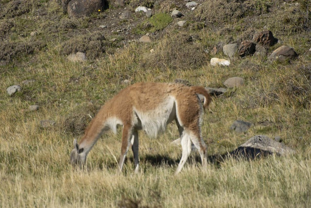 Guanaco [Lama]; quite common