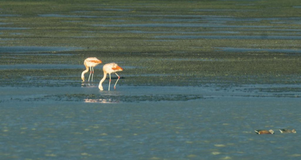 Chilean Flamingos (or am I seeing double?)