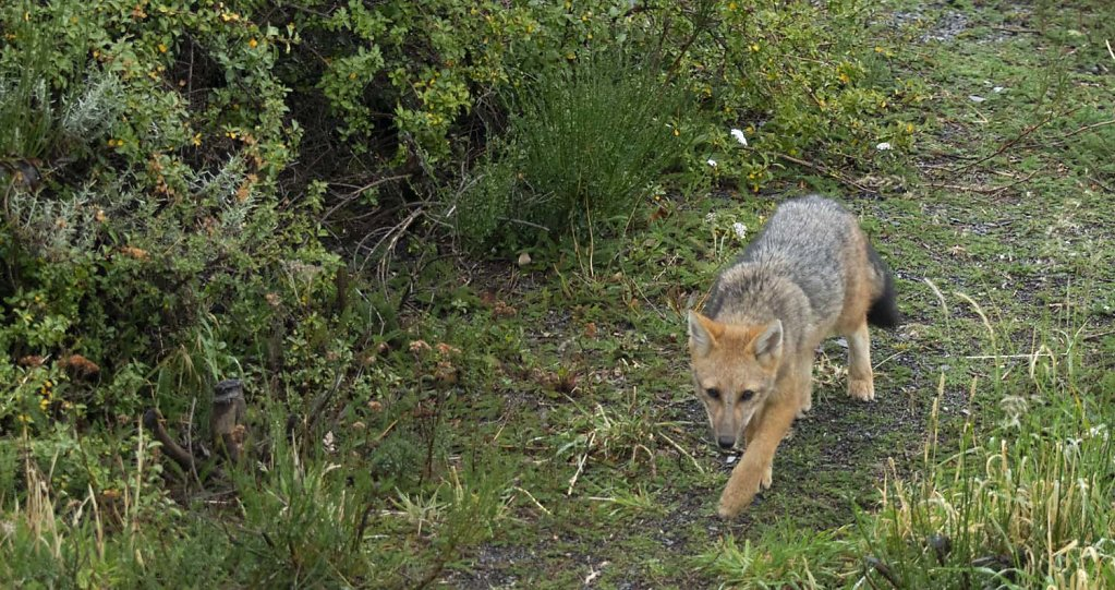 A Patagonian Grey Fox, just as he saw